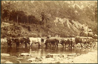 Print, Photographic, Bullocks & Wagon, Tokomaru Bay