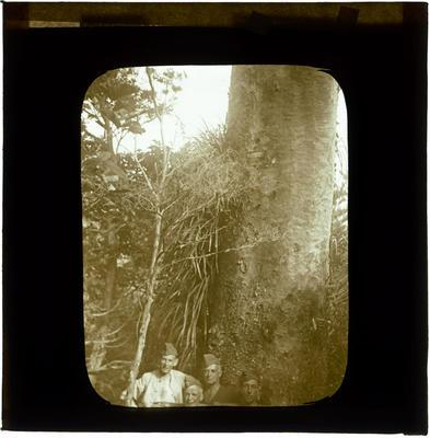Glass Lantern Slide, Soldiers at base of Kauri tree