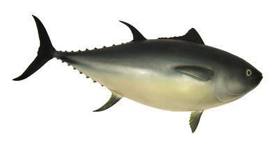 Blue Fin Tuna (Thunnus Maccoyi )