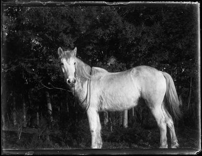 Glass Plate Negative, Horse