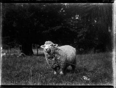 Glass Plate Negative, Sheep in paddock