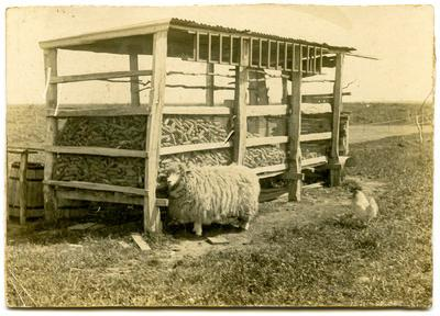 Print, Photographic, Lamb and Rooster