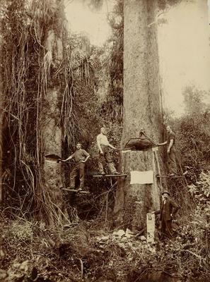 Print, Photographic, Felling Kauri Trees