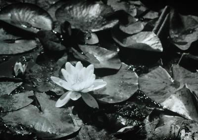 Slide, Water Lilies