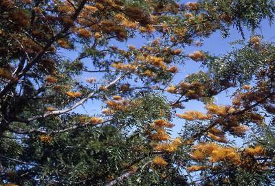 Slide, Tree, Silky Oak