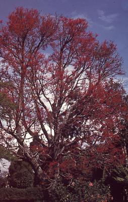 Slide, Flame Tree, Tauranga