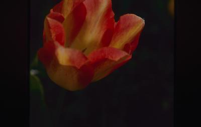 Slide, Tulip