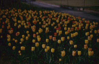 Slide, Tulips, Rotorua