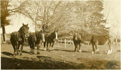 Print, Photographic, Shire Horses
