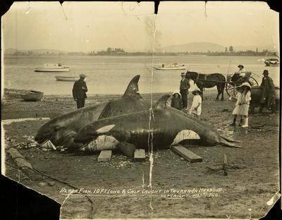 Print, Photographic, Blackfish, Orca, Tauranga